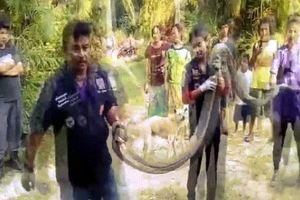Hổ mang chúa khổng lồ dài chưa từng thấy vào 'thăm' nhà cô gái Thái Lan
