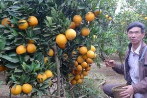 'Lạc lối' ở vườn cam vàng óng như dát vàng, có cây 'đẻ' cả tạ quả
