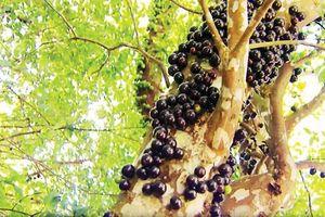 Vỏ cây nho gỗ giúp phòng ngừa bệnh tiểu đường