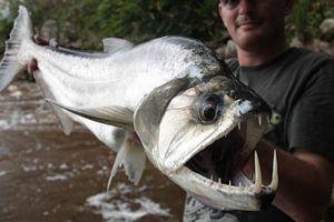 Khám phá loài cá ma cà rồng gớm ghiếc, có nanh dài 15cm