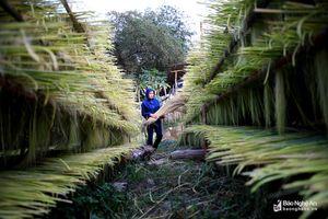 Mùa thu hái đót ở vùng biên giới Nghệ An