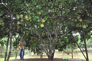 'Cụ cây' nghìn quả quý như vàng 9999 cho thu về hàng chục cây vàng