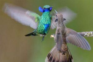 Loài chim ruồi hiện vẫn đang tiến hóa có răng trong… mỏ