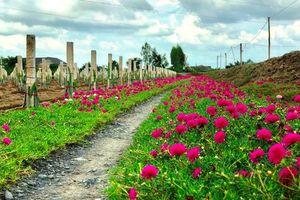 Trồng hoa mười giờ quanh ruộng vườn: Vừa đẹp, vừa có ích