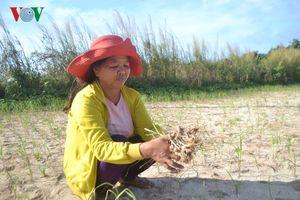 Đảo Bé, huyện đảo Lý Sơn mất trắng vụ tỏi đông xuân