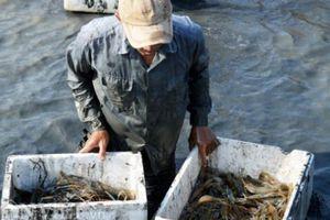 Cận Tết, về 'thủ phủ' tôm càng xanh xem nông dân xứ Đất Mũi quậy bùn