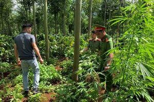 Phát hiện hơn 100 cây cần sa trồng trái phép trong rẫy cà phê