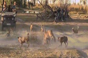 CLIP: Màn hỗn chiến giữa chó hoang và sư tử cái
