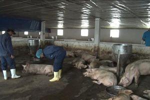 Huế: Phát hiện gần 200 con heo nhiễm bệnh lở mồm long móng