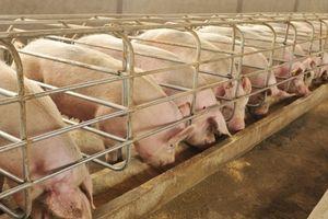 Giá heo (lợn) hơi hôm nay 17/1: Miền Bắc tiếp tục đà tăng trong những ngày cuối năm