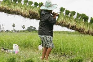 Các nhà xuất khẩu gạo của châu Á đang gây ra một cuộc chiến giá cả