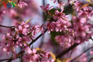 Rực rỡ mùa hoa Tớ dày Mù Cang Chải