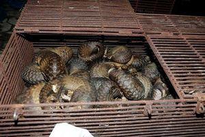 Hà Tĩnh: Triệt phá đường dây mua bán động vật quý hiếm, thu giữ hơn 6 tạ cá thể tê tê