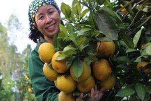 Hà Tĩnh: Rừng cam 100 tỷ vàng rực, nông dân 'găm hàng' chờ bán tTết