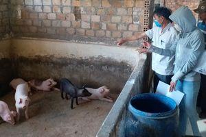 Hàng trăm con lợn bệnh lở mồm long móng suýt... xuất chuồng
