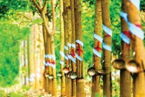 Đẩy mạnh bán cây, Cao su Đồng Phú vượt kế hoạch năm 2018
