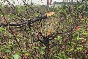 Bắc Ninh: Cận cảnh hàng trăm gốc đào của người dân bị kẻ gian phá hoại