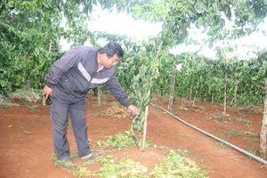 Đắk Lắk: Vườn chanh dây giá trị nửa tỷ đồng bị kẻ gian phá hoại