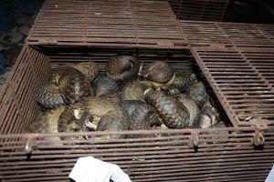 Hà Tĩnh: Bắt quả tang 9 đối tượng đang có hành vi nuôi, nhốt, buôn bán trái phép 215 cá thể tê tê
