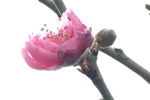 Đào, mai, quất mang đến sự may mắn, tài lộc cho năm mới