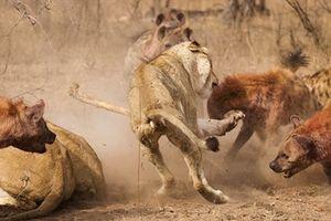 Sư tử sai lầm, bị linh cẩu đói đánh đuổi cướp mồi