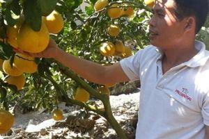 Không chỉ ở Thủ đô, nông dân Sơn La cũng thu vàng từ trái vàng