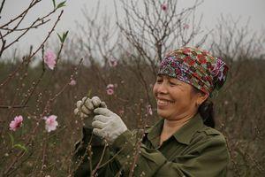 Người trồng đào cảnh, quất cảnh Hải Phòng được mùa, được giá