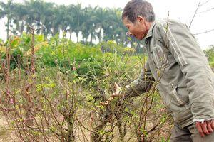 Xót xa những vườn đào tết bị phá hoại, thiệt hại cả tỉ đồng