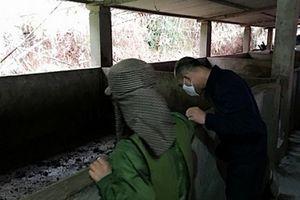 Quảng Ninh: Phát hiện thêm ổ dịch lở mồm long móng trên đàn lợn