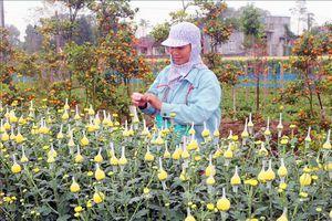 Làng hoa Phù Vân rộn ràng vào vụ Tết