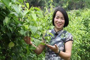 Cô giáo rời bục giảng, trồng sachi, vừa khỏe người vừa nặng ví