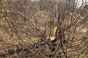 CLIP: Hàng trăm gốc đào bị phá hoại trong đêm ở Bắc Ninh