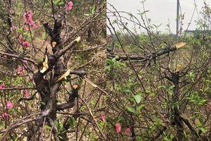 Bắc Ninh: 11 gia đình bật khóc vì kẻ gian chặt phá hàng trăm cây đào bán tết