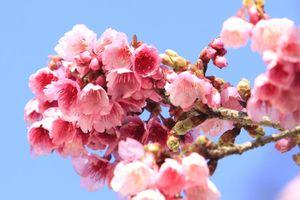 Mãn nhãn ngắm hoa anh đào nở tuyệt đẹp ở Sa Pa