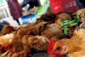 Bộ Y tế khuyến cáo bệnh cúm gia cầm nguy cơ cao lây sang người