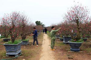 Những làng hoa hối hả vào vụ Tết