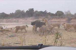 Trâu rừng chết thảm dưới nanh vuốt đàn sư tử