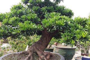 Bí kíp chọn mua cây bonsai chơi Tết mang tài lộc năm mới