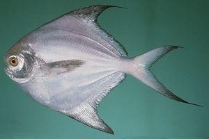 Nhận diện 4 loại cá vừa ngon vừa rẻ lại bổ gấp 10 nhân sâm, cực tốt cho não và tim
