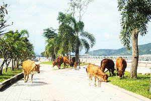 Cần xử lý nghiêm tình trạng bò thả rong