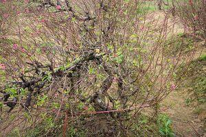 Vụ chặt trộm đào ở Bắc Ninh: Một chủ vườn uống thuốc sâu tự tử