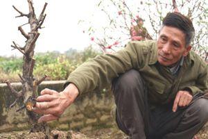 Thông tin bất ngờ đằng sau vụ chủ vườn tự sát sau khi hàng trăm gốc đào Tết bị chặt phá