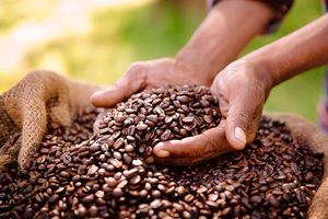 Hơn một nửa giống cà phê trên thế giới có nguy cơ tuyệt chủng