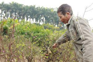 Một chủ vườn uống thuốc sâu tự tử sau vụ hàng trăm gốc đào bị kẻ gian phá hoại
