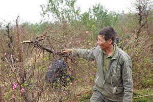 Bắc Ninh: Chủ vườn đào tự tử có mâu thuẫn với các chủ vườn khác?