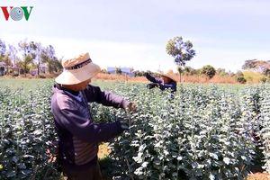 Thị trường trầm lắng, người trồng hoa Gia Lai thấp thỏm lo âu