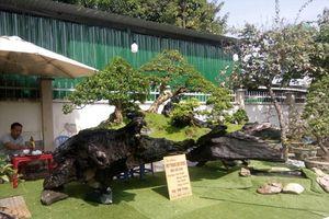 Tiểu phẩm bonsai trên gốc cây sao cổ thụ 'khủng' trình làng đón Tết