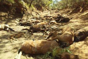 Ngựa hoang chết hàng loạt trong đợt nắng nóng kỷ lục tại Australia