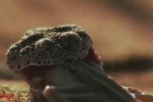 Mải mê săn mồi, thằn lằn chết đau đớn trong miệng 'sát thủ sa mạc'