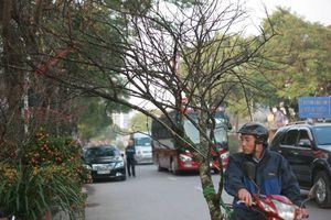 Đào rừng giá trăm triệu xuống phố đón Tết
